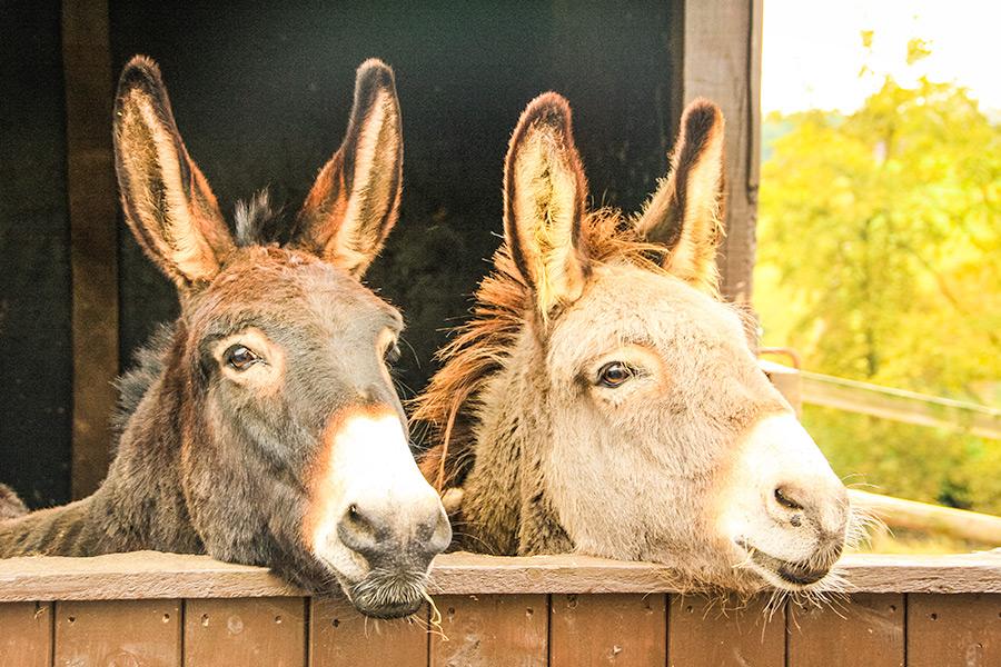 The Donkey Sanctuary Car Show July 2018 East Devon