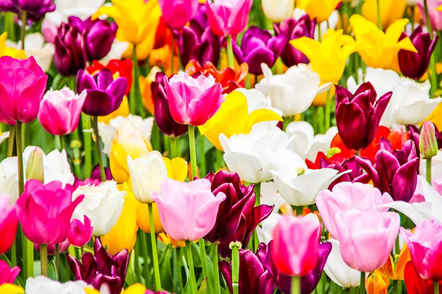 Forde-Abbey-Tulip-Festival
